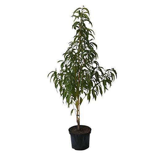 Müllers Grüner Garten Shop Harco Nektarinenbaum saftig süße gelbfleischige Nektarine 120-150 cm Buschbaum 7,5-10 Liter Topf