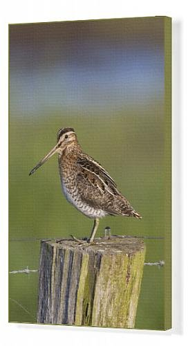canvas-print-of-snipe-adult-perched-on-fence-post