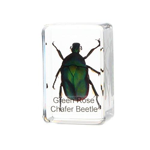 MagiDeal Echtes Insekt Briefbeschwerer Taxidermie Exemplar - grüner Käfer