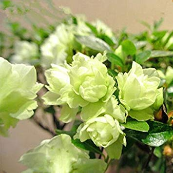 100 STK/Packung Seltene Bonsai 13 Sorten Azalea Samen DIY Haus & Garten Pflanzen Sieht aus wie Sakura Japanese Cherry Blooms Blumensamen 13 Azalea