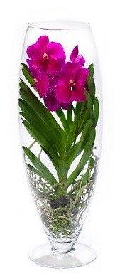 FloraStore - Vanda Champagner (kleur: Cerise) (1x), Höhe 70 CM, Topf 24 CM, Zimmerpflanze -