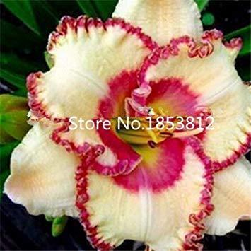 Homely 100 Pcs/Sac, Hemerocallis Seed, Tawny Daylily, Semis En Pot, Semis En Saison, Graines En Fleurs Graines De Fleurs
