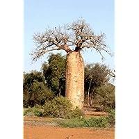 BAOBAB (Adansonia fony) 5 semi