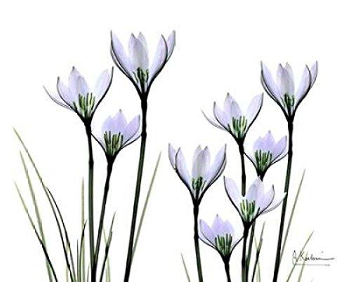 albert-koetsier-white-rain-lily-in-bloom-kunstdruck-6096-x-7620-cm