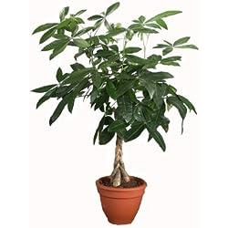 Dominik Blumen und Pflanzen, Glückskastanie, Flaschenbaum, Pachira aquatica, 1 Pflanze, ca. 60 - 80 cm hoch, 3 Liter Container, Zimmerpflanzen, Kübelpflanzen