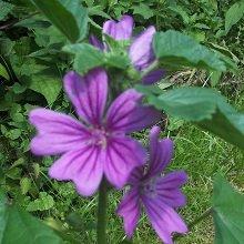 JustSeed Wilde Malve, Malva sylvestris, Blumen malve 1000 Samen, Groß packung
