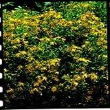 Suffolk Herbs Bildhaftes Paket Johanniskraut Hypericum perforatum