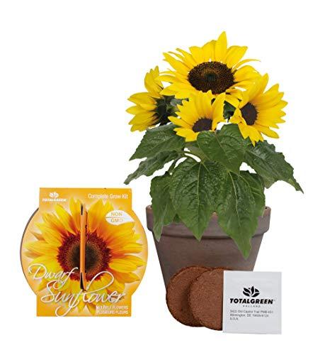 Sonnenblumen Aufzuchtset | Einzigartiges Basalt Zwergen-Sonnenblume Zuchtset | Sonnenblume Samen für innen oder außen | Sehr einfach mit ausführlichen Anweisungen für Anfänger und Experten -