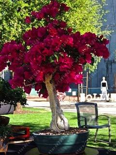 agrobits 20 pc/semi bouganville bag, bougainvillea spectabilis willd semi, bella semi di fiori di piante bonsai pentola per il giardino di casa: 14