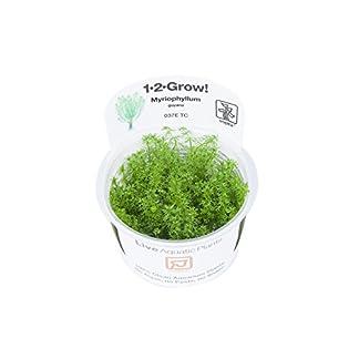 Tropica Myriophyllum Guyana 1-2-Grow Tissue Culture In Vitro Live Aquarium Plant Shrimp Safe & Snail Free 9