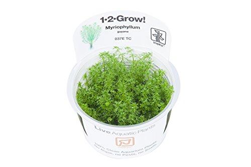 Tropica Myriophyllum Guyana 1-2-Grow Tissue Culture In Vitro Live Aquarium Plant Shrimp Safe & Snail Free 1
