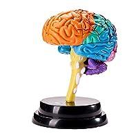BIUYYY Human Brain Anatomical Model - Detachable for Kids Anatomy Medical Laboratory Teaching Tool