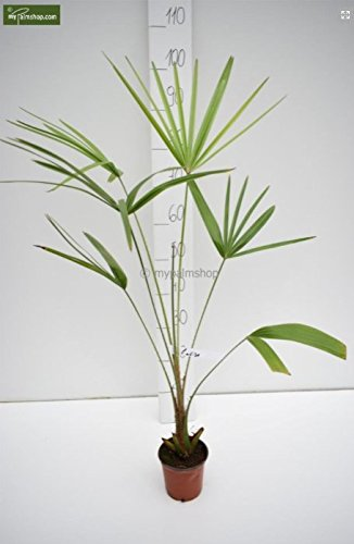 Palme- Carnavon Palme- Livistona nitida - 80-100cm Topf Ø 13cm