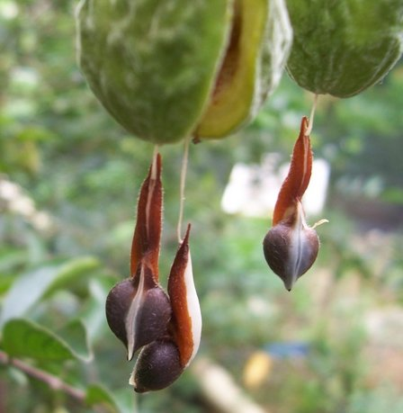 Adlerholz Agarwood Aquilaria malaccensis ABSOLUTE RARITÄT 25 Samen