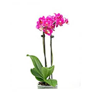 tappetino per mouse Phalenopsis Orchidee - rettangolare - 23cm x 19 cm