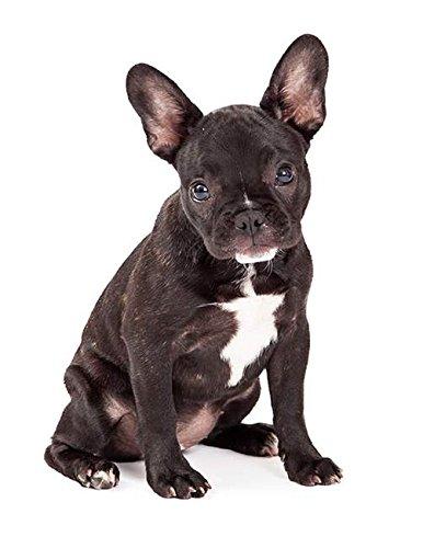 Hunde Aufkleber Sticker Französische Bulldogge (Fun-auto-zubehör)