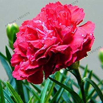VISTARIC 1: 100 Stück/bag Rosenstock, rosafarbene Samen, Bonsai-Baum Blumensamen, Rosenbaum Pflanze Balkon & Yard für Hausgarten eingetopft 1