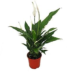"Spathiphyllum, Einblatt, ""Sweet Chico"", 13cm Topf"
