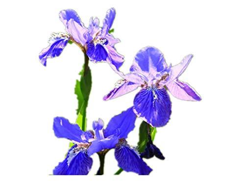 KINGDUO 100Pcs Mélange Couleurs Iris Fleur Graines Jardin Balcon Herbacée Vivace Plante Ornementale
