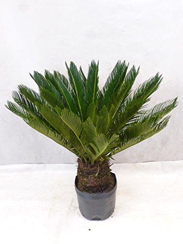 Palmenlager - Cycas revoluta 100 cm, 20/25 cm Stamm - viele Blätter/Sagopalme - Palmfarn