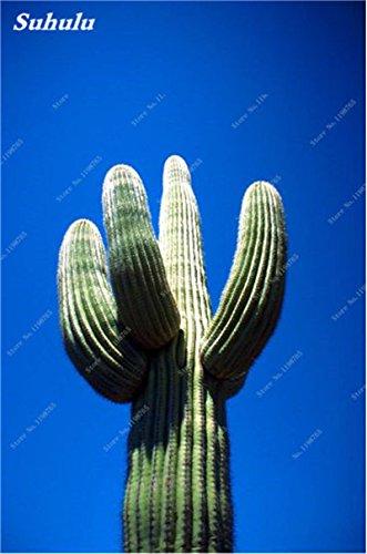 100 Pcs géant à long Cactus Graines Succulentes Universal Rootstock Mixte Cactus Graine de haute qualité pour le jardin des plantes Bonsai Fresh Air 9