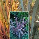 Virtue Phormium 'Rainbow Striped Hybrids' Perennial Seeds By Thompson & Morgan 90263-9
