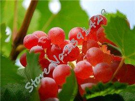 mixtes 50 graines / sachet de graines de pamplemousse, des plants d'arbres de raisin XINJIANG Tulufan, bonsaï en pot raisin Kyoho pour jardin 6