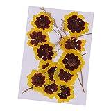IPOTCH 12*Fiori Pressati Secchi Faccia di Gatto Crisantemo Decori Album Ornamenti Decorazione Cassa