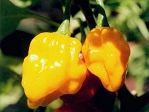 Pepper Samen Bonnet Scotch (Seltene, sehr scharfe Chili-Sorte mit Aprikosenaroma - Scotch Bonnet gelb, yellow - 20 Samen)