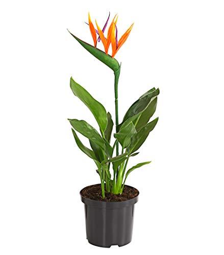 Königs-Strelitzie  <strong>Hinweise</strong>   Gewicht kann je nach Feuchtegrad der Pflanze variieren