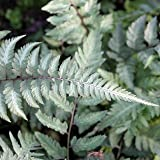 Japanischer Regenbogenfarn - Athyrium niponicum 'Metallicum' - Farn