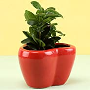 Ferns N Petals Ficus Compacta in Red Heart Shaped Pot | Valentine Plant