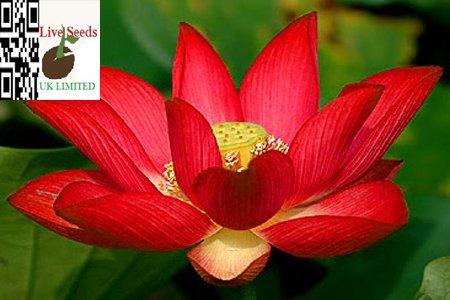 bonsai-lotus-wasser-lily-blume-bowl-pond-5-frische-samen-rot-lotus