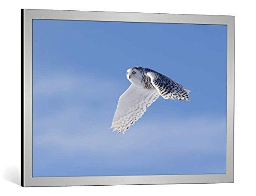 kunst für alle Bild mit Bilder-Rahmen: Phillip Chang Snowy Owl - dekorativer Kunstdruck, hochwertig gerahmt, 90x60 cm, Silber gebürstet