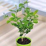 Rameshwar Agro- Jasmine plant live Mogra Indoor and outdoor Flower Plant