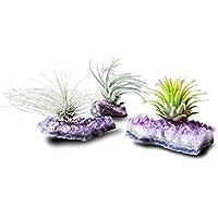 Tillandsia Pflanze Mit Amethyst Druse Rohstück | Tillandsien Pflanzen Deko | Luftpflanzen Halter Echt Für Pflanze | Modern Garten Dekoration Für Büro und Zuhause