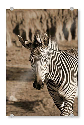 artboxONE Acrylglasbild 30x20 cm Tiere Zebra Tanz Sepia Bild hinter Acrylglas - Bild Zebra Tanz Afrika