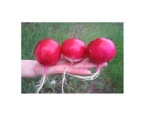 Riesenradieschen - Radieschen Dunkelroter Riese - 200 Samen