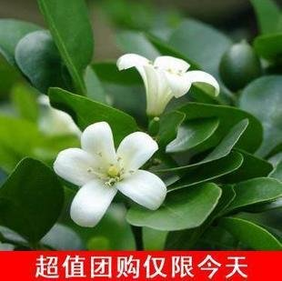 graines blanches Jasmin plantes en pot balcon mélange 20 graines / paquet