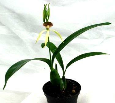Mühlan Orchideen 1941