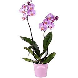 Flores Frescas Florachic - Orquidea rosada con maceta - plantas vivas, enviadas directamente del vivero a tu casa