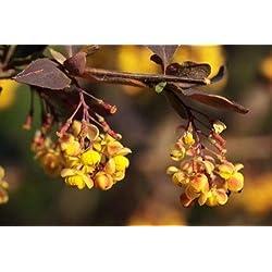 Portal Cool Berberis thunbergii Atropurpurea (lila japanische Berberitze) - 30 Samen