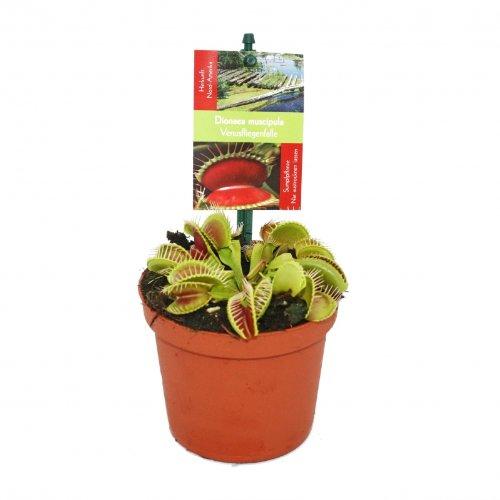 Trappe mouche Vénus, Dionaea muscipula - pot de 12 cm
