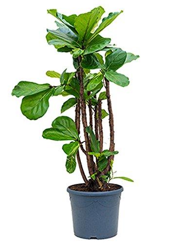 Geigenfeige 110-140 cm im 31 cm Topf große Zimmerpflanze für Hell-Halbschatten Ficus lyrata 1 Pflanze
