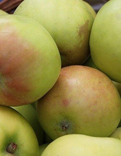 Apfel Golden Delicious Viertelstamm wurzelnackt, 90 cm Stammhöhe inkl. Pflanzschnitt