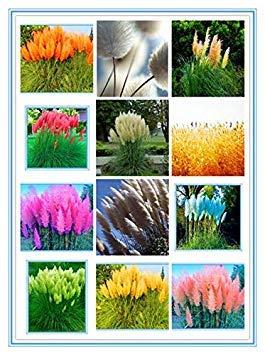 seedsown Samen: Heiß 100pcs / Bag New Rare Bunte Pampas Grass.Ornamental Cortaderia Selloana Bonsai Topfpflanzen Blumen-DIY Hausgarten: Mix -