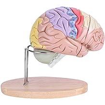 1:2 Medical Anatómico Modelo de Cerebro Humano Nervio Cortex Cerebral 4 Partes