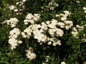 Weiße Bodendeckerrose mit vielen Blüten von Baumschule auf Du und dein Garten