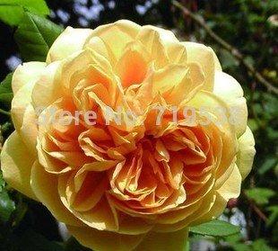 Gelb Rose Golden Celebration aromatischen 100Blumensamen
