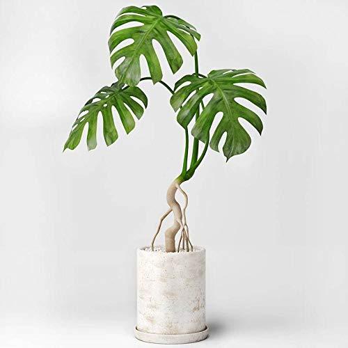 Portal Cool 100Pcs Monstera Obliqua Samen Blumen Bonsai Topfpflanzen Dekor Pot Garten-Schildkröte